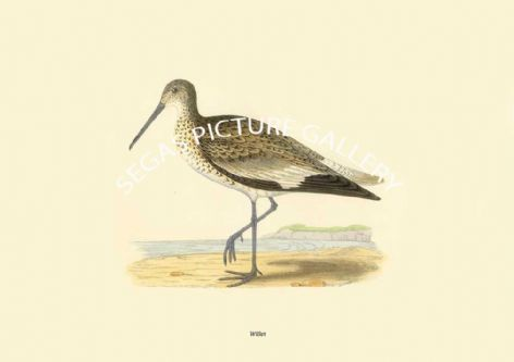 Fine art print of the Willet by Charles Robert Bree (1866)
